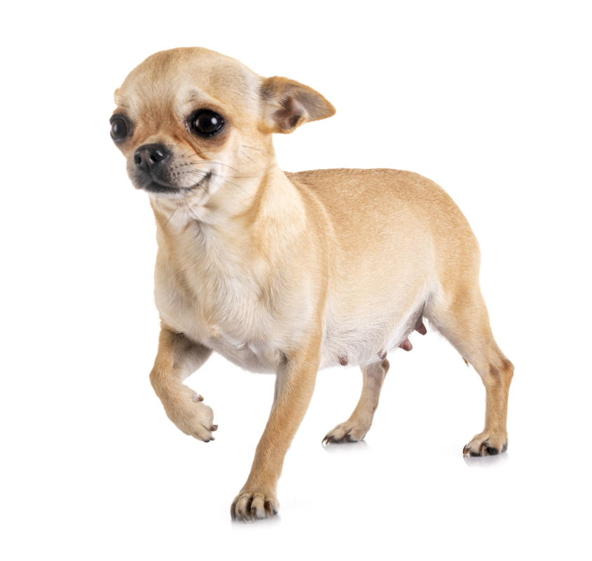 pregnant chihuahua in front of white background